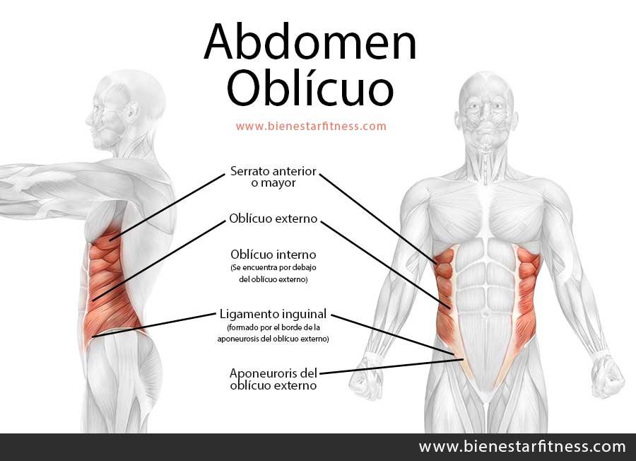 anatomia basica del abdomen oblícuo